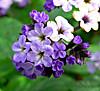 Heliotropium_arborescens_5